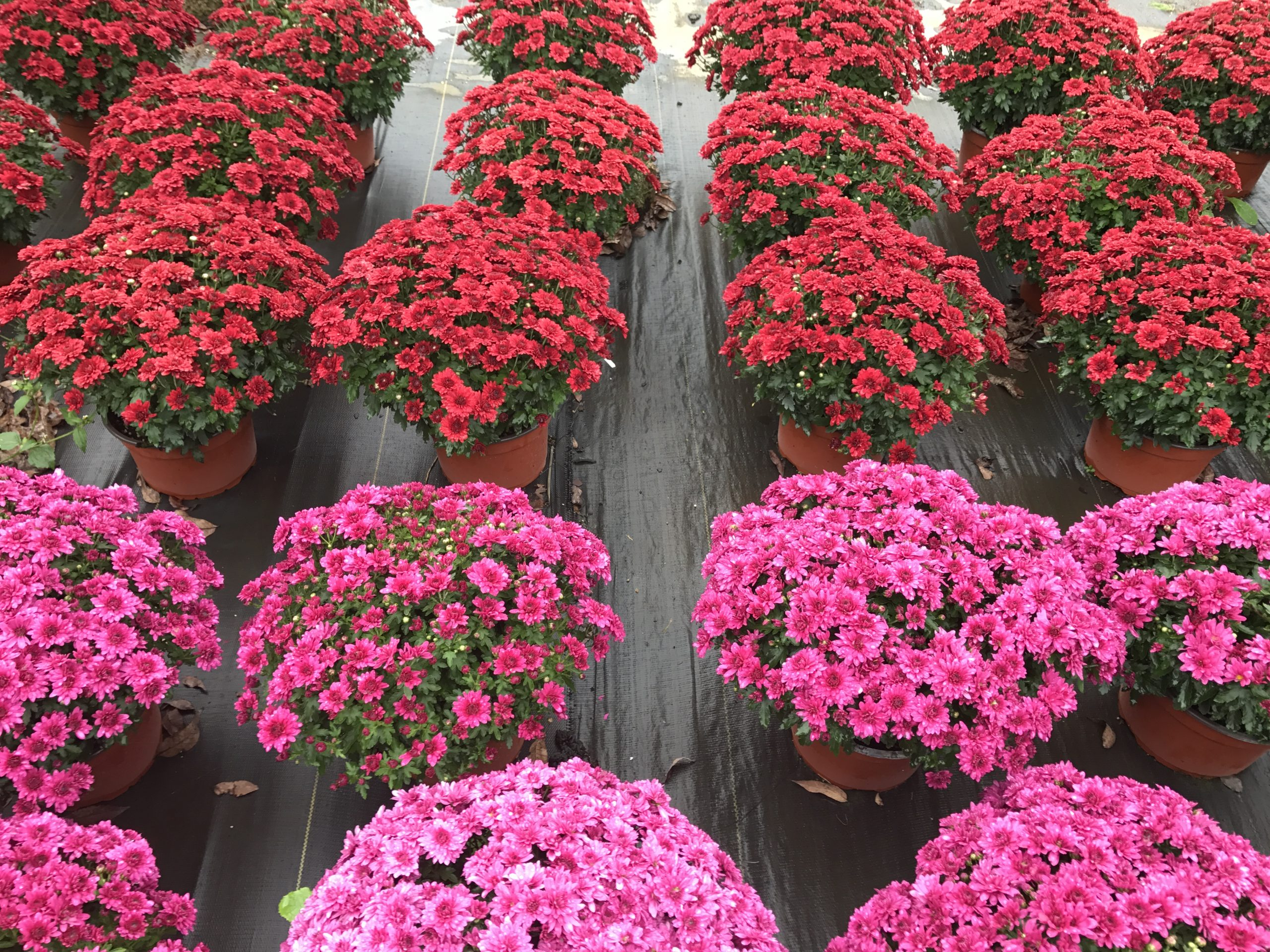 Colorful Mums Majestic Nursery and Gardens