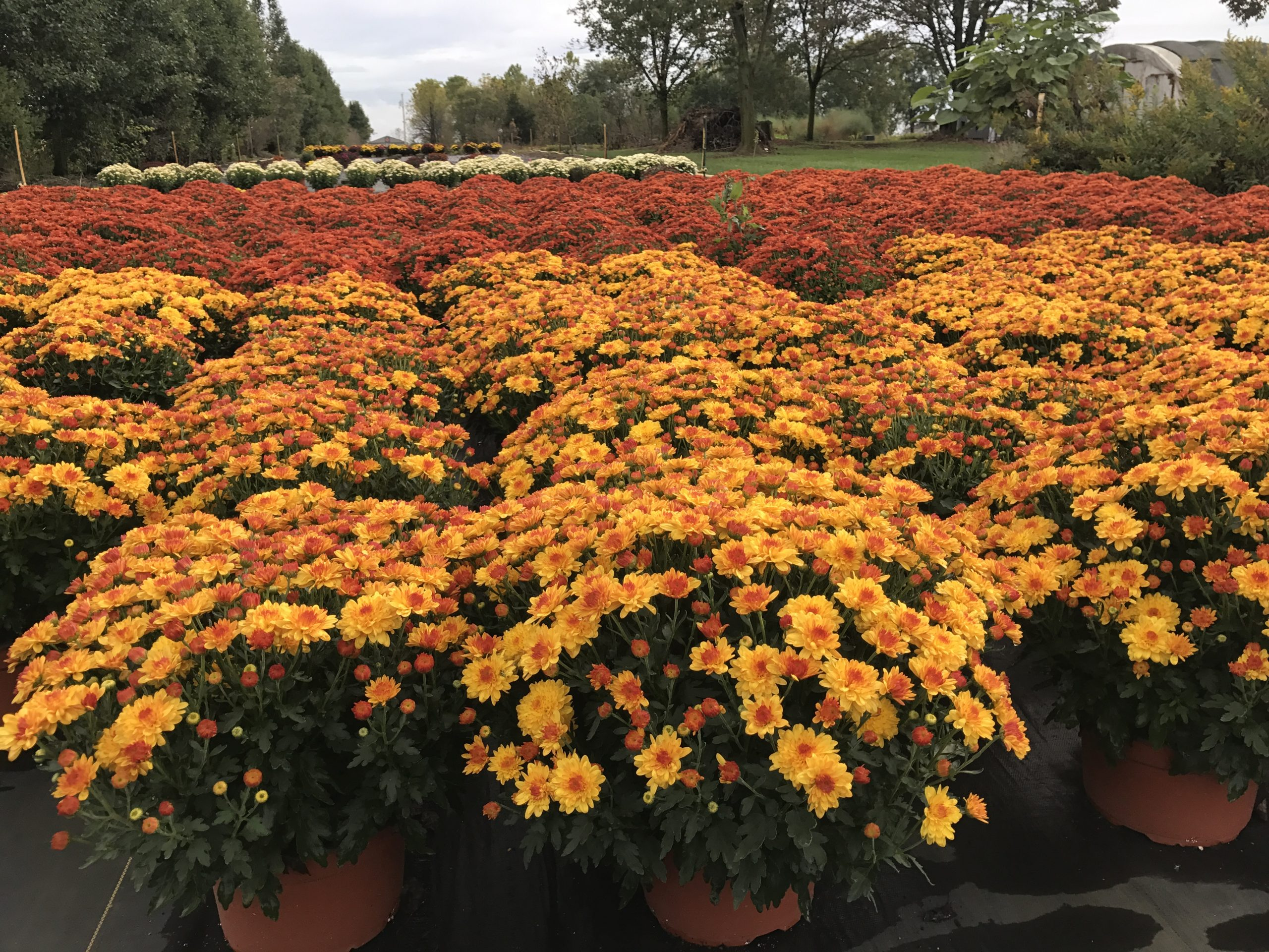 Fall Mums Majestic Nursery and Gardens