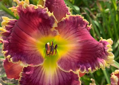 daylily garden Majestic Nursery and Gardens