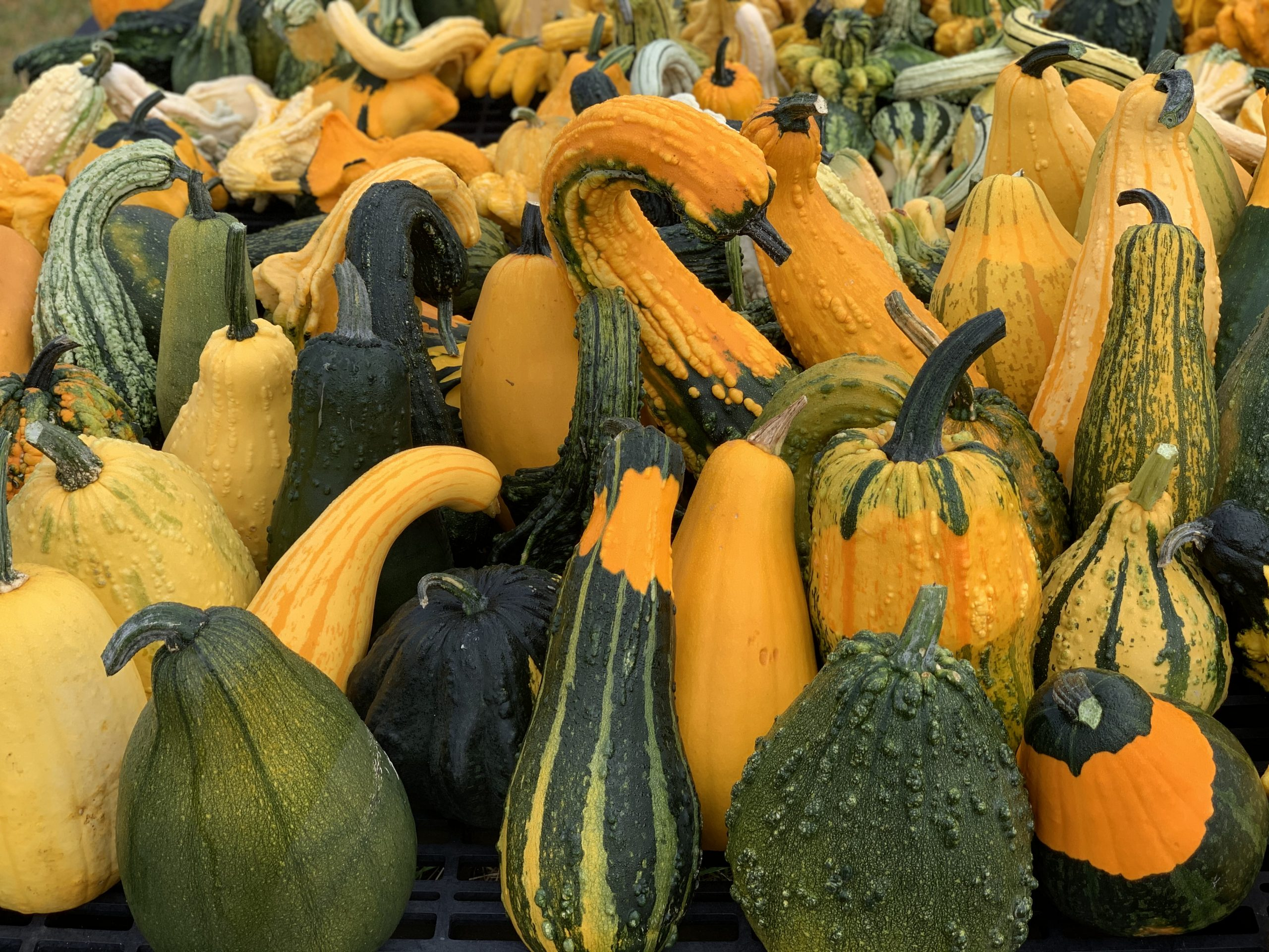 Colorful Gourds Majestic Nursery & Gourds