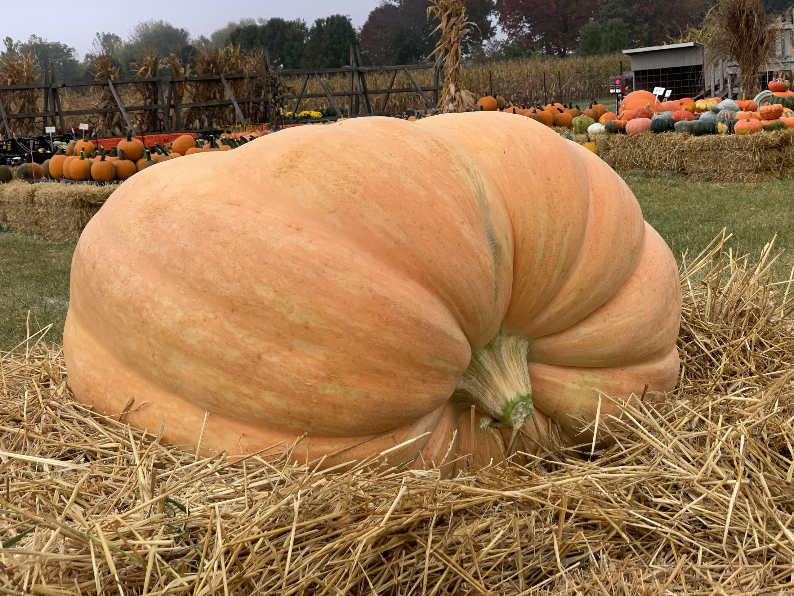 Large Pumpkin Majestic Nursery & Gardens