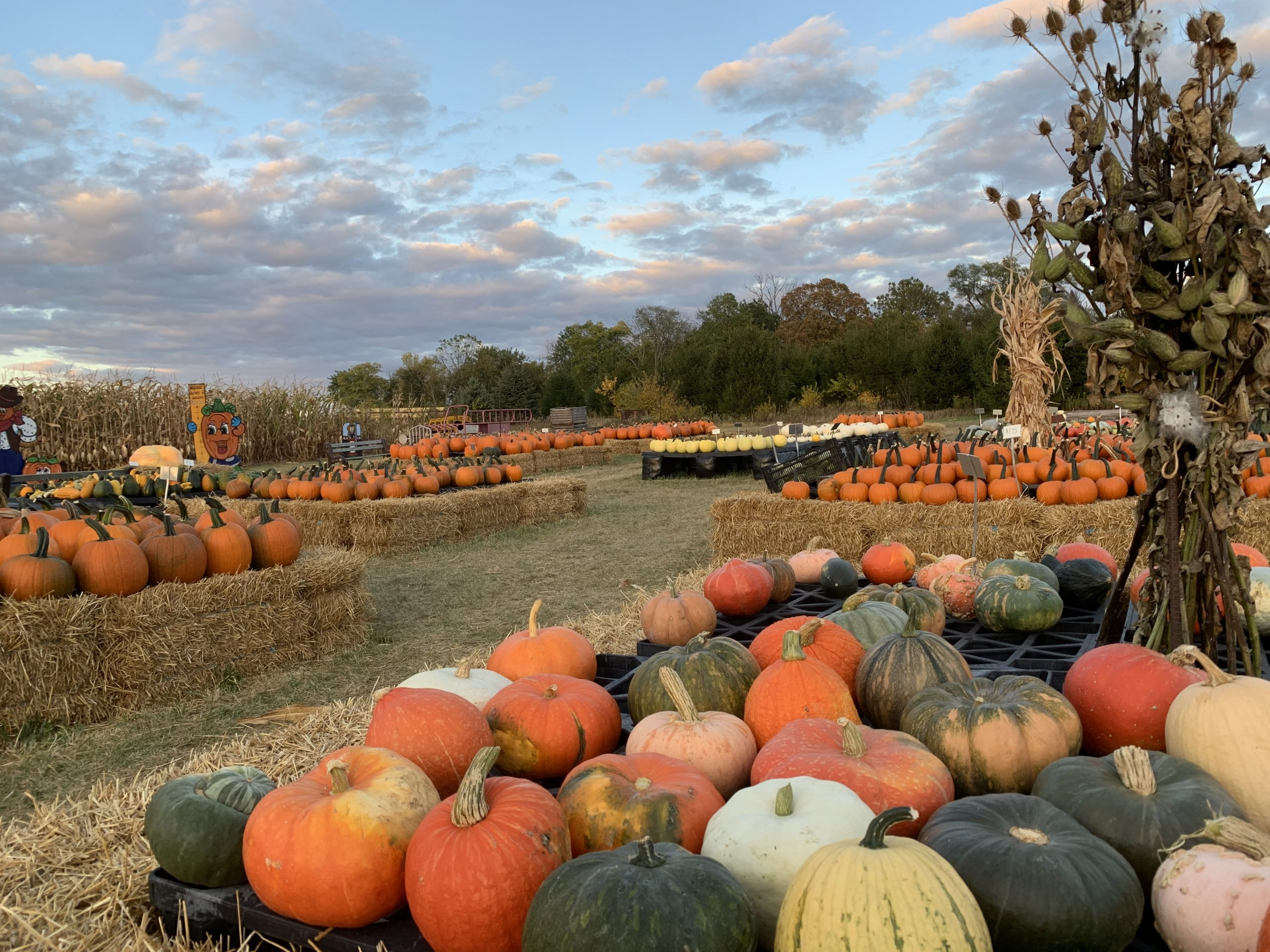Pumpkins Majestic Nursery & Gardens