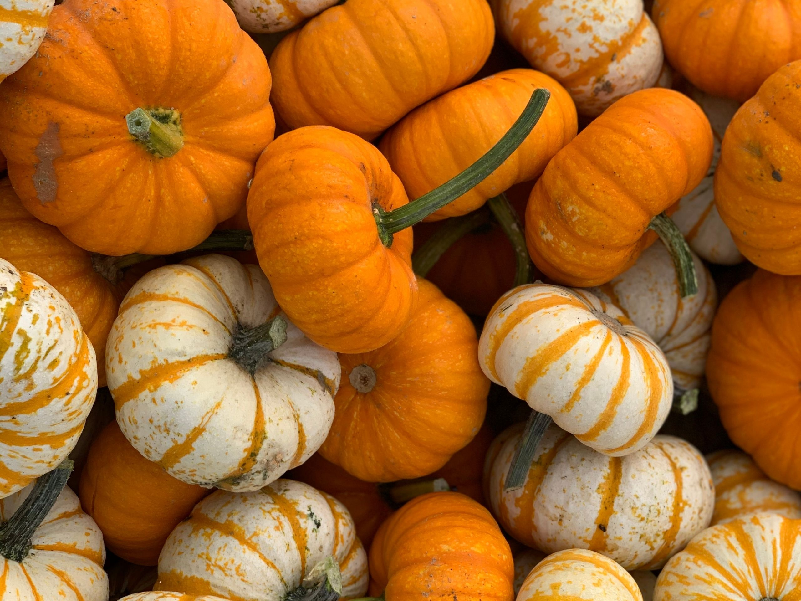 Multicolored Pumpkins Majestic Nursery & Gardens