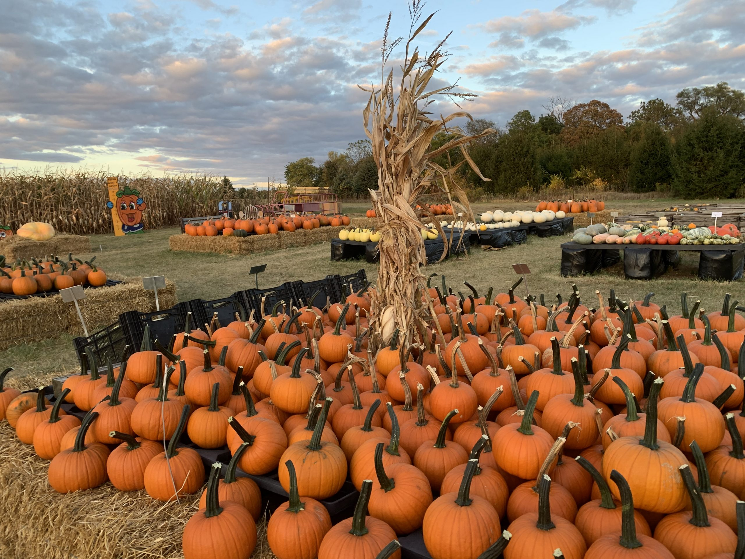 Pumpkin Patch Majestic Nursery & Gardens