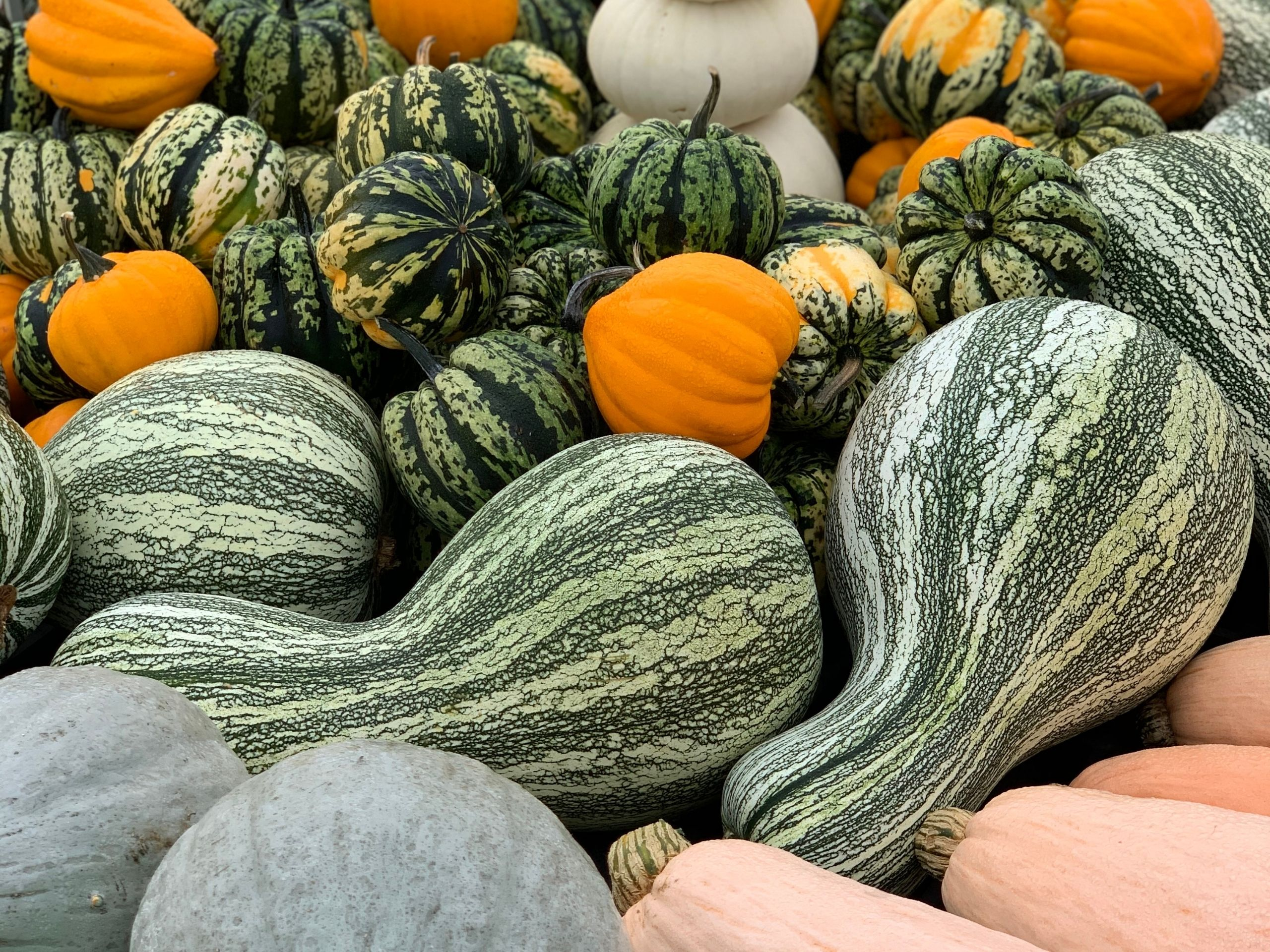 Pumpkins and Gourds Majestic Nursery & Gardens